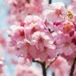 Profile picture of Blossom